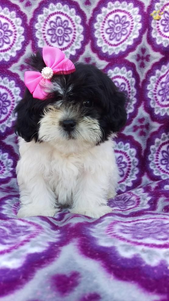 Reba Shichon Puppy For Sale In Nottingham Pa Lancaster