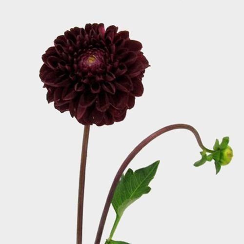 Burgundy Dahlias Wholesale Bloomsbythebox Com Carnation Wedding Flowers Burgundy Wedding Flowers Wholesale Flowers