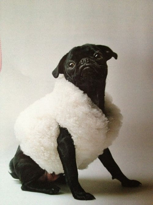 Pug: Faux Fur, Fashionable Black, Sheep Pug, Pug Dogs, Black Pug, Pugs In Clothes, Black Sheep