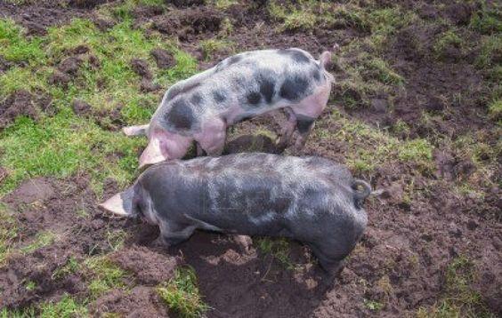 2 pietrain varkens