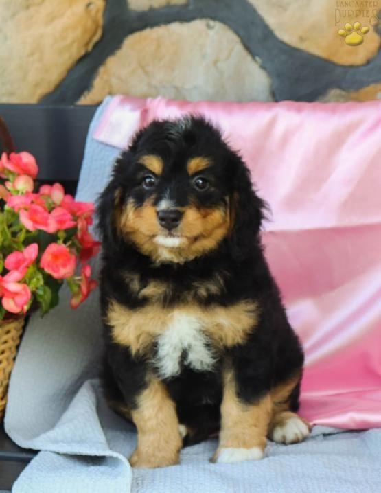 Funminibernedoodle Minibernedoodle Minibernadoodle Bernadoodle Bernedoodle Bernese Charming Puppiesofpin Bernedoodle Puppy Mini Bernedoodle Bernedoodle