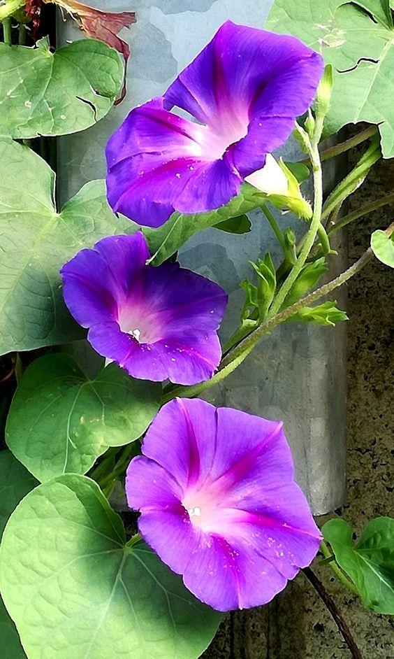Purple Beauty 3 Morning Glory Flowers Pretty Flowers Flower Garden Plans