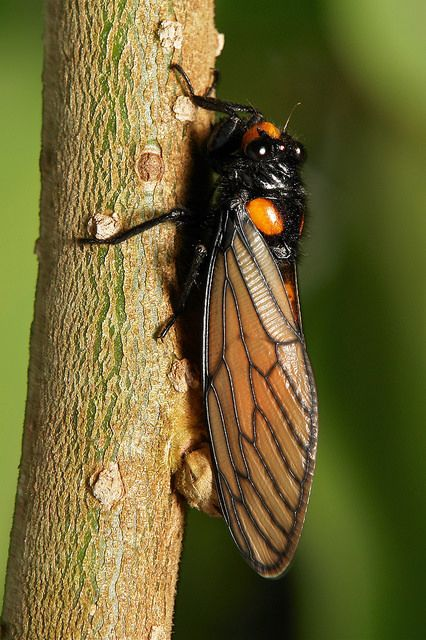 Black and Golden Cicada @@