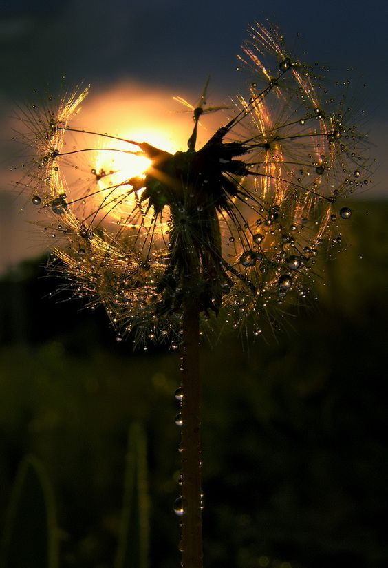 There's something about dandelions - Very nice composition, photo about a nature details!