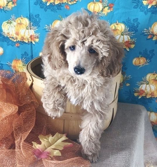 Jax Poodle Puppy Poodle Puppy Puppies Puppy Facts