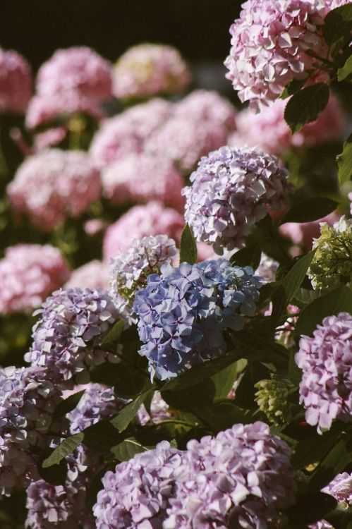 New Free Stock Photo Of Nature Flowers Petals Growing Hydrangeas Hydrangea Flower Garden