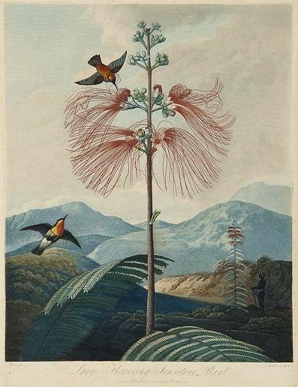 Robert John Thornton. Large Flowering Sensitive Plant, 19th century