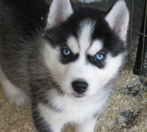 When i get a dog i want a Siberian Husky.