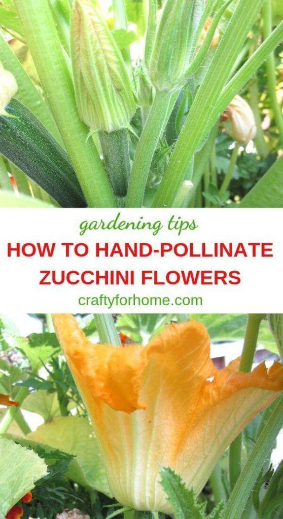 How To Hand Pollinate Zucchini Flowers Zucchini Flowers Gardening Tips Pollination