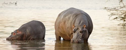"""hippopotalust: """"Mum and bub hippo by Jennie Stock on Flickr. """""""