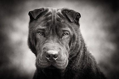Ronnie the Sharpei by Jon Hayward Pet Photography