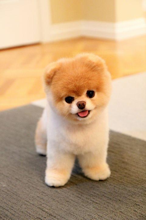 White and brown Pomeranian