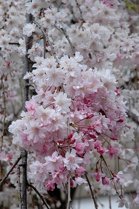 Double Pink Weeping Cherry Blossom Tree Bright Pink Blossoms Cascade Down Like A Cherry Blossom Waterfall 2 Years Old And 4 Feet Tall Christmas Gift Baskets Diy Diy Christmas Gifts