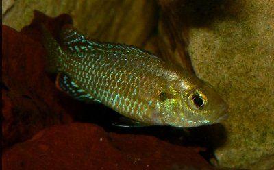 Pseudocrenilabrus_multicolor_multicolor_male_3.jpg