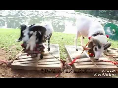 Turki Dumba For Qurbani Qurbani Wajab Hain Sheep Animals Tri