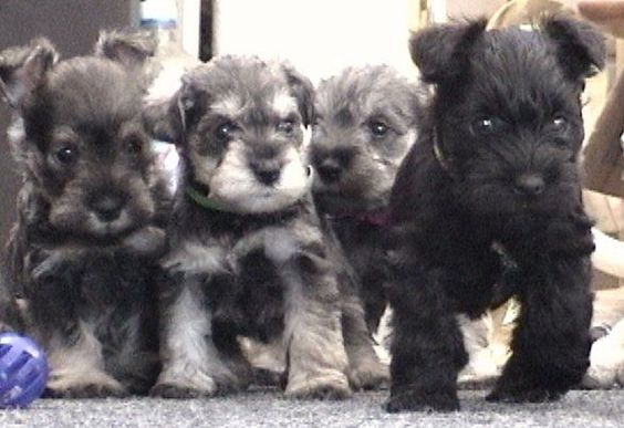 Google Image Result for http://dogbreedsites.com/wp-content/uploads/2012/01/Miniature-Schnauzer-puppies-2.jpg