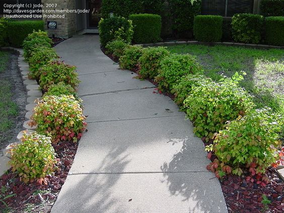 Landscaping With Dwarf Bamboo : Nandina landscaping galleryhip the hippest galleries