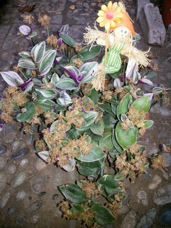 •Nombre botánico: Tradescantia zebrina Tradescantia zebrina. •Nombre común: Amor de hombre, Tradescantia, Trasdescantia cebrina.