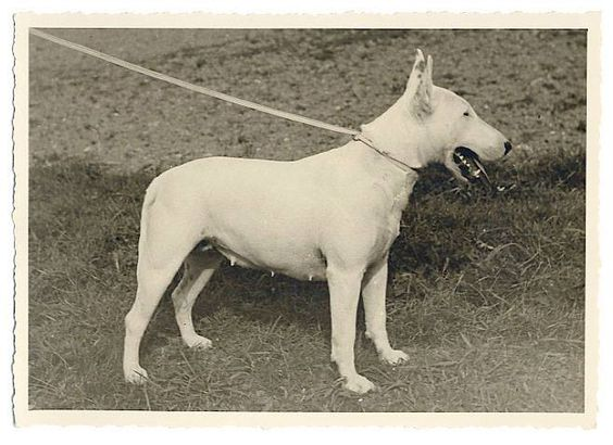 Bull Terrier 1930 - colección C.H.
