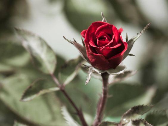 bela-rosa-vermelha-2013