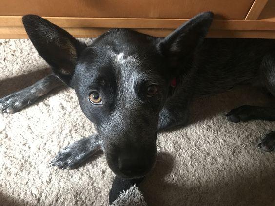 Image result for heeler dog in living room at house