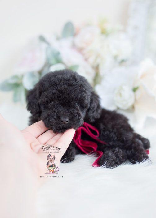 Black Toy Poodle Puppy 056 Poodle Poodle Mix Puppies Poodle