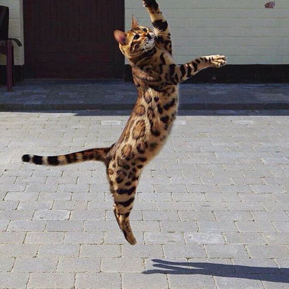 This is Thor, The Bengal House Cat That's Dominating Instagram Right Now