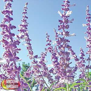 MEXICAN BUSH SAGE Salvia leucantha Medium sized perennial shrub blooms from late spring through fall.