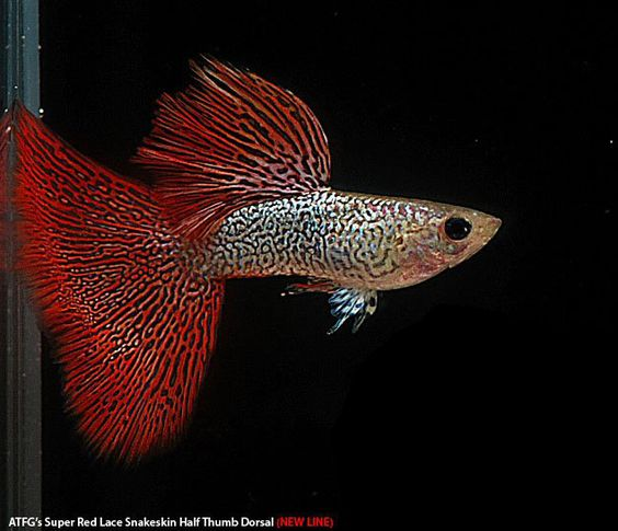 Types Of Guppies Guppies Are A Very Easy To Breed Fish Species They Also Adapt Quickly To Their Environment And This Is What Makes The Guppy Guppy Fish Fish