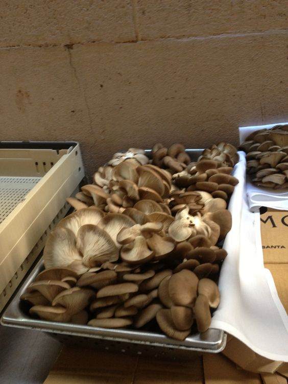 Another 25 lbs. of local oyster mushrooms at IL Piatto