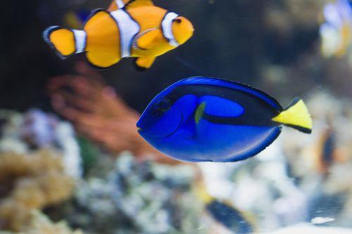 Blue Tang Surgeonfish And Clownfish In An Aquariumhttps I Redd It L81f2f3po1921 Jpg Clown Fish Marine Animals Sea Animals