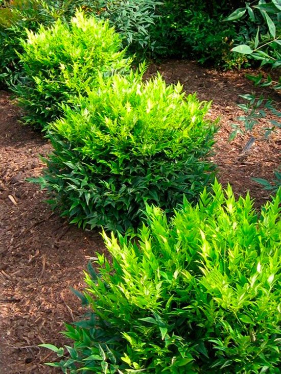 Small front yard foundation planting   evergreen shrubs  ornamental tree  and perennials   Garden ideas   Pinterest   Small front yards  Evergreen  shrubs and. Small front yard foundation planting   evergreen shrubs