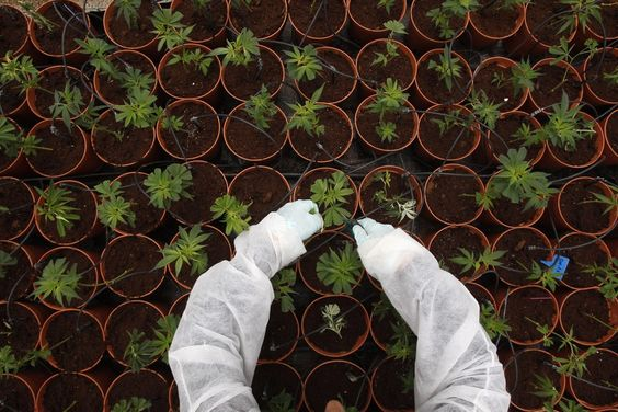 How Backyard Pot Farming Is Helping Kids With Autism Parents are going where scientists fear to tread to calm their children's autism and epilepsy symptoms. 9/15/16