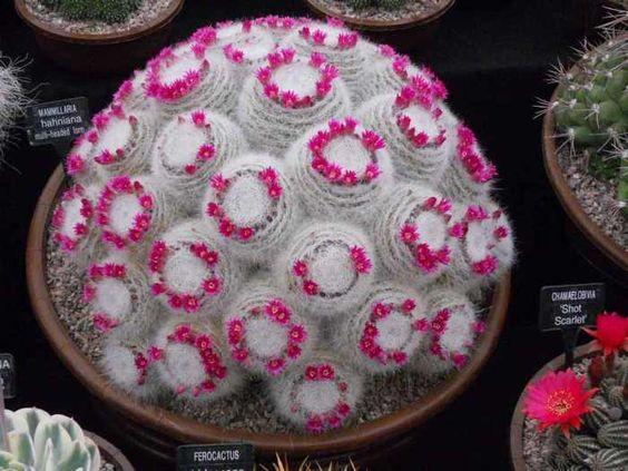 קקטוס האישה הזקנה - Mammillaria hahniana