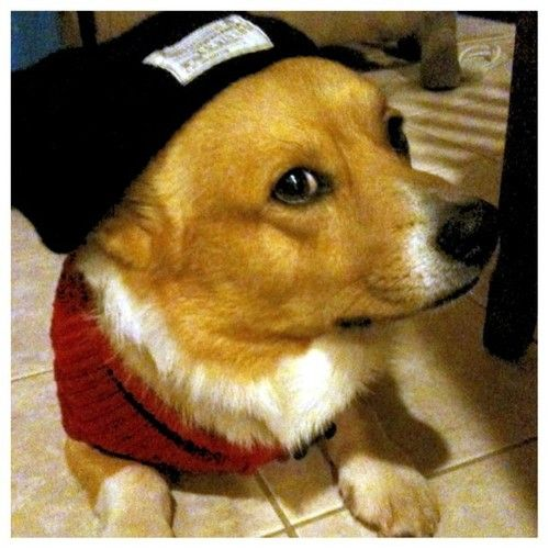 I didn't choose the thug life. The thug life chose me. Corg-tang clan ain't nothin' to ruff with. reposted from corgis-everywhere by way of yyybba (tumblr)