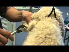 How To Detangle Matted Dog Hair Matted Dog Hair Dog Grooming Cockapoo Grooming