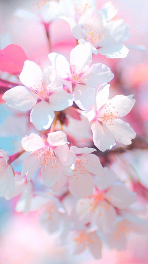 Art Background Beautiful Beauty Cherry Blossom Colorful Design Flowers Inspiration Lad Floral Wallpaper Iphone Pink Flowers Wallpaper Flower Wallpaper Cherry blossom spring wallpaper iphone
