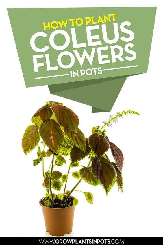 How to plant Coleus flowers in pots