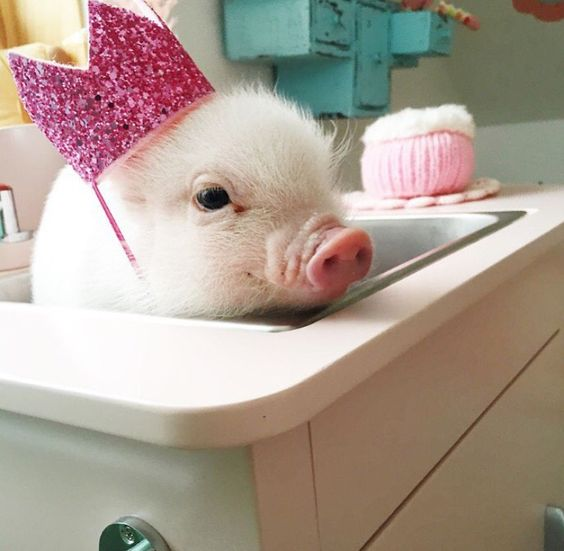 Call us today about making one of our piggies apart of your family! MICRO MINI PIGS FOR SALE!