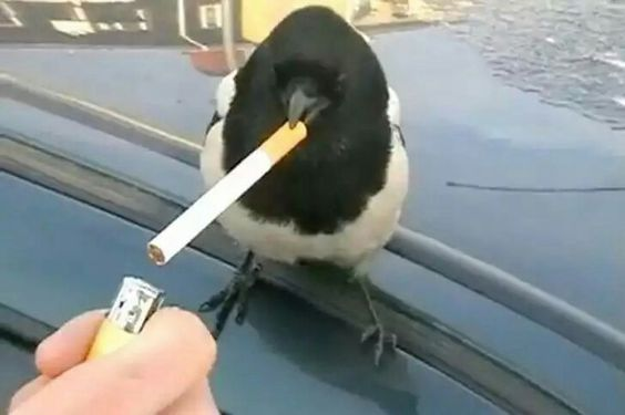 "And the Raven said ""I will never smoke again""."