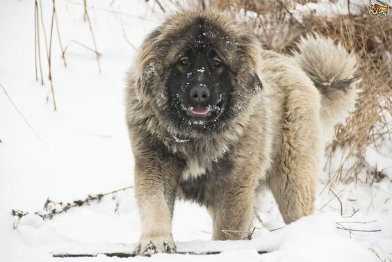 Caucasian mountain dogs, Mountain dogs and Prison on Pinterest