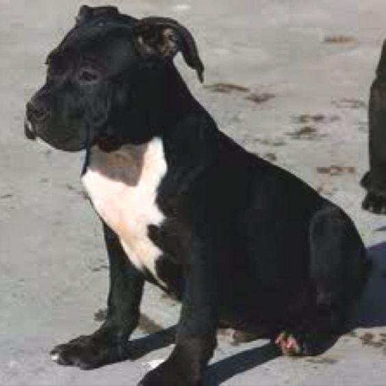 Soo cute! Pitbull puppy