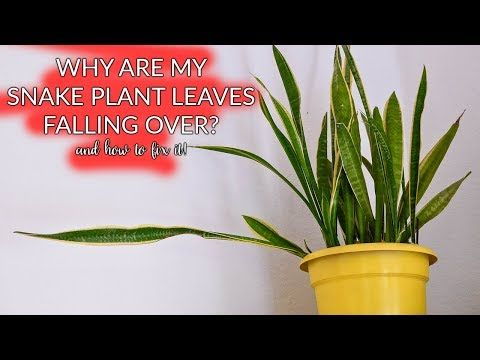 Do You Have An Occasional Snake Plant Leaf Falling Over No Worries Here S A Guide That Tells You Why It Happens Shows How T Plant Leaves Plants Snake Plant