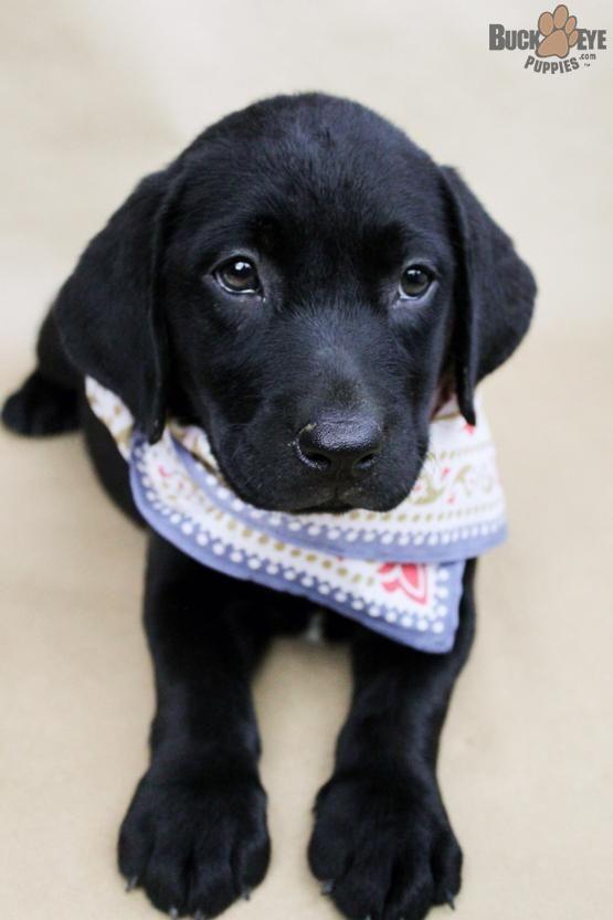 Cherie Labrador Retriever Puppy For Sale In Berlin Oh Buckeye