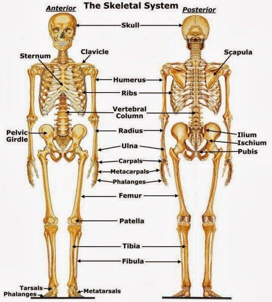 explore human skeletal skeletal anatomy and more human skeleton ...
