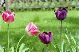 Resultado de imagem para tulipas negras FILME