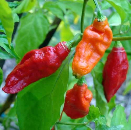 Bhut Jolokia Chile Pepper 10 Seeds - Ghost Pepper