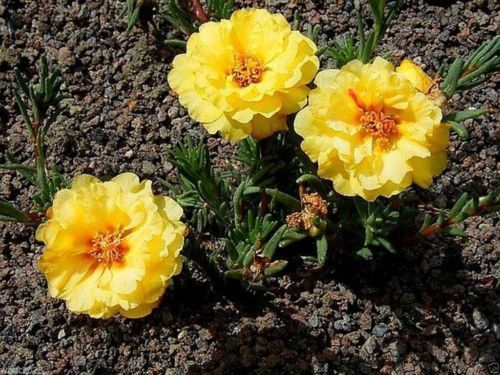 Moss Rose Seeds - Yellow~200 seeds Great in Container,tolerate heat and drough