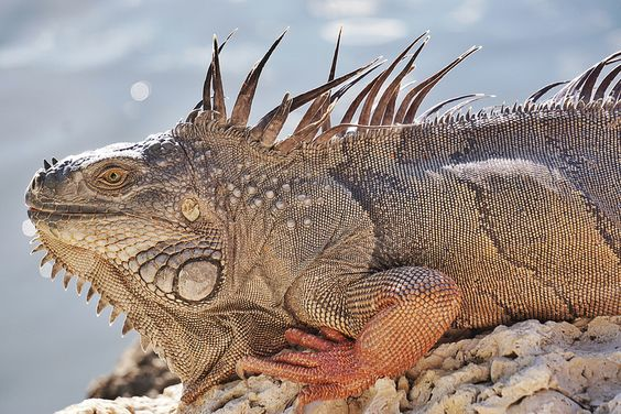 Head-bobbing interactions in the wild. Iguana of the Florida Keys. | by beyondhue