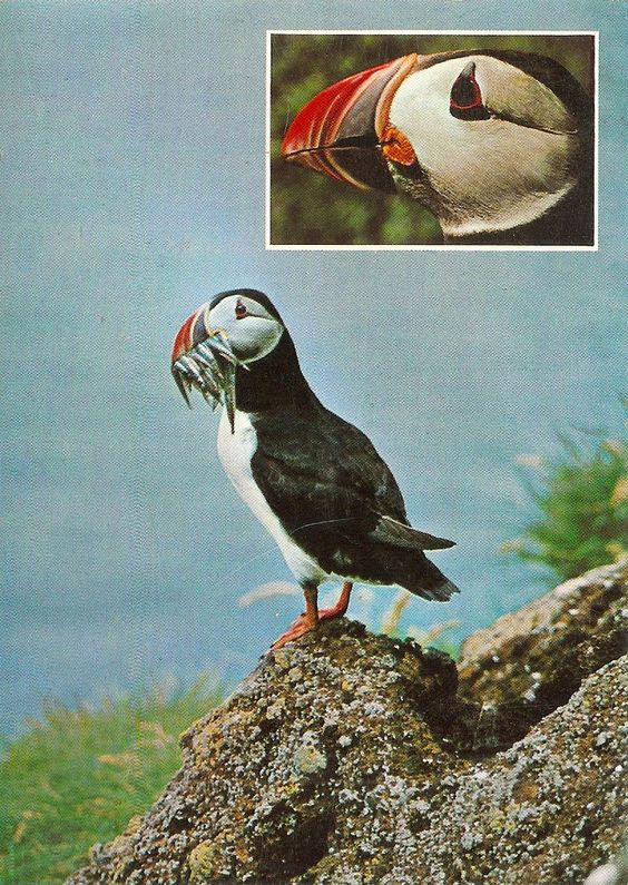 Puffin (macareux) - Iceland - Carte postale kitsch - Collection personnelle nikedenice (162)